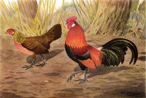 vourouders van kippen
